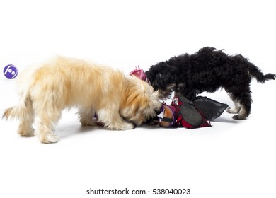 Three small fluffy Shitsu puppies playing with shoes shot in studio on a white background