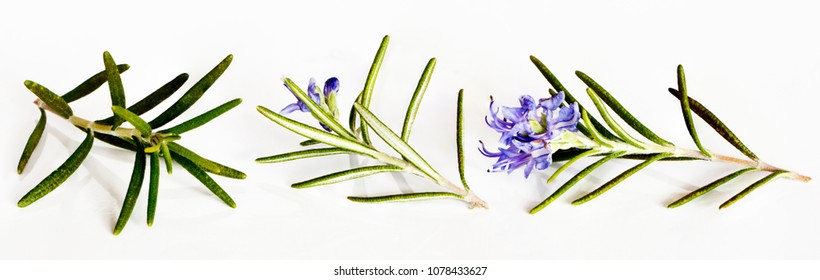 Three small rosemary twigs in bloom on a white background