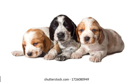 Three small spotted white-red-black puppies of the Russian Spaniel breed isolated on a white background. A dog is a friend of man.
