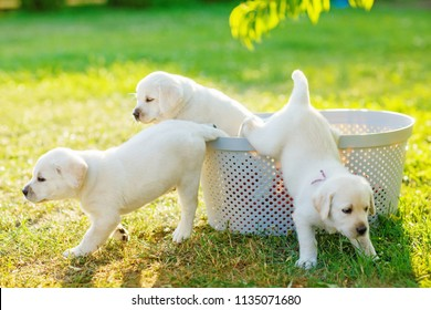 three small white puppies escape from the basket in the middle of the lawn