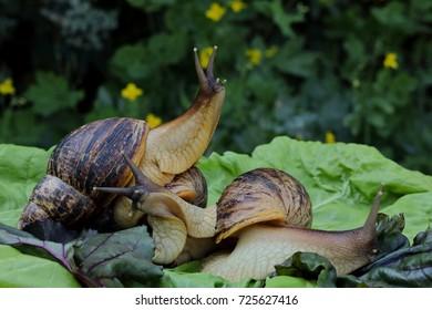Three snails on green leaf