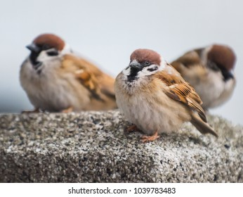 Three sparrow perching.