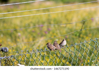 Three sparrows  also known as true sparrows, or Old World sparrows are sitting on a wire fence.