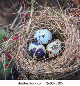 Three spotted eggs in hay nest
