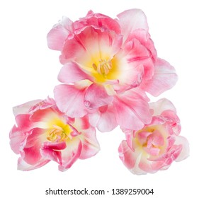 Three spring pink tulip flower heads isolated on white background closeup. Tulip in air, without shadow. Top view, flat lay.