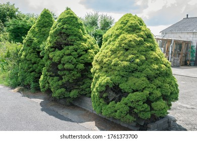 Three spruce with dense foliage that resemble dwarfs. Tree's name is Dwarf Alberta Spruce or Picea glauca 'Conica'.
