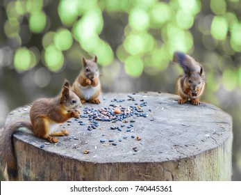 three squirrels. The squirrels in the forest. Squirrels in the Park. squirrels eat nuts and seeds. spring summer. squirrel on a stump