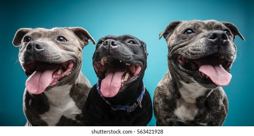 Three staff bull terriers posing against bright blue background