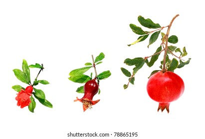 Three stages of development of a pomegranate (from a flower to a ripe fruit) isolated on a white background