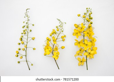 Three Stages Flowers of Cassia fistula or Golden shower, national tree of Thailand isolated on white background