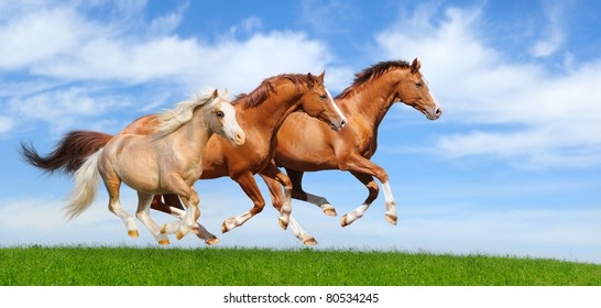Three stallions gallop in field