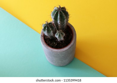 Three stemmed Tree Cactus in a cement pot on a turquoise and yellow geometrical background