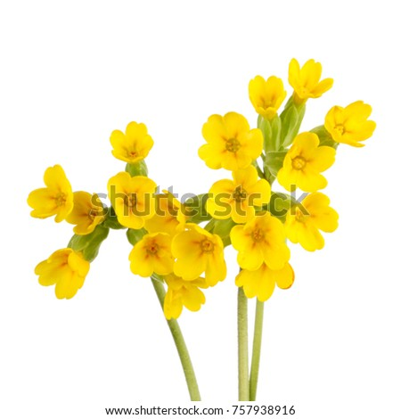 Three Stems Yellow Flowers Cowslip Primula Stock Photo Edit Now