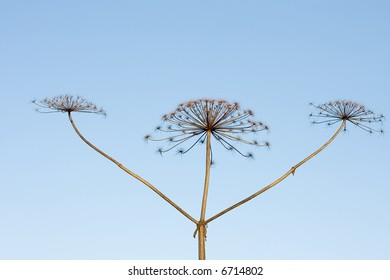 three sticks of dry hogweed with crowns on background of sky