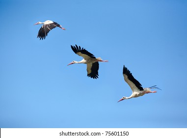 three stork flying in the blue sky