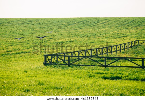 three storks flying above the green field