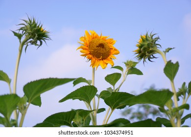 Three Sunflower are blooming under cloudy blue sky