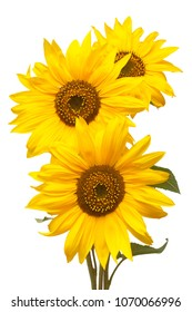 Three sunflowers isolated on white background. Flower bouquet. The seeds and oil.