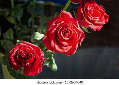 Three sunlit long stem red rose in full bloom.Australia.