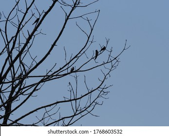 Three swallows sit on tree in european Goczalkowice town at Silesian district in Poland, clear blue sky in 2020 warm sunny spring day on June.