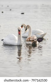 three swans beautifully float on the water