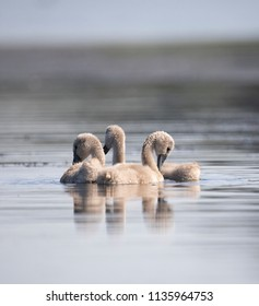 Three swans kids in the water