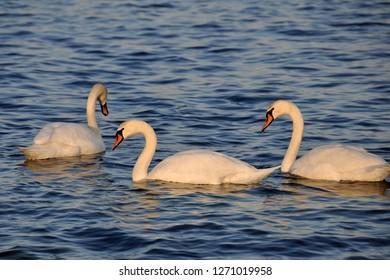 Three swans swim in the Black Sea near the resort of Konstantin and Elena near Varna