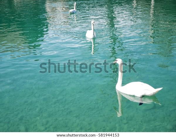 Three swans swim in lake, Switzerland