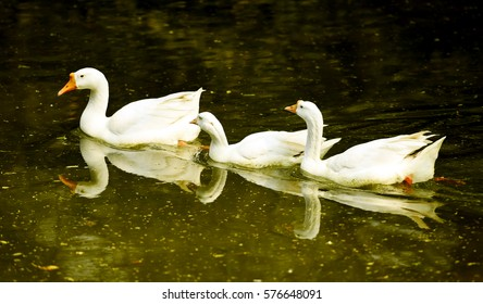 Three swans, swimming in a lake