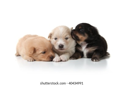 Three Sweet and Cuddly Pomeranian Newborn Puppies