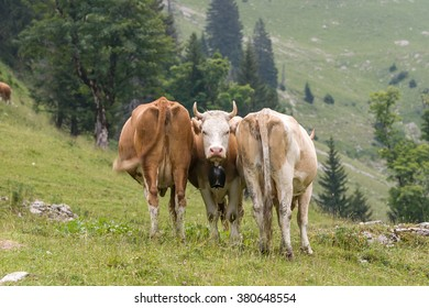 Three Swiss cows in the meadow.