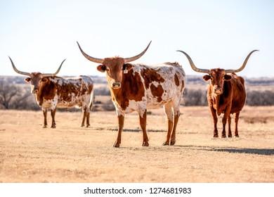 Three Texas Longhorn cows under a blue sky
