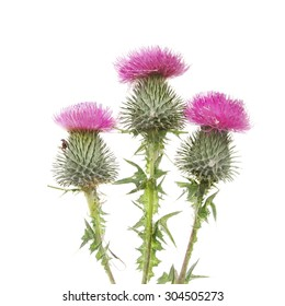 Three Thistle flowers isolated against white