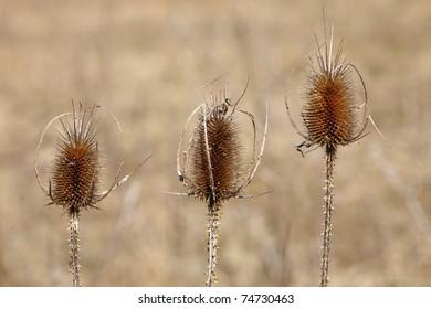 Three Thistles