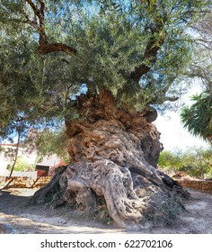three thousand years old olive tree