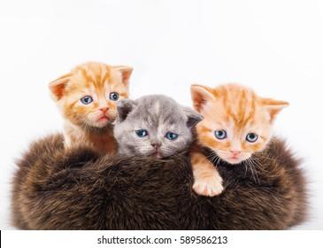 three tiny kitten sitting in brown fur hat, grey fluffy kitten Scottish Fold, tiny ginger cat, pussycat, studio, isolated white background