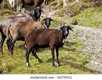 Three Tirol Alps Mountain Sheep