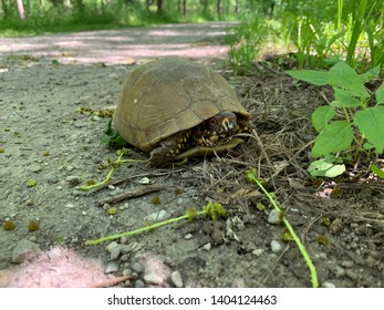 Three Toed Box Turtle on MKT Trail in Missouri