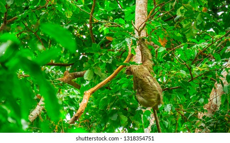Three toed sloth climbing in green forest in national park cahuita costa rica