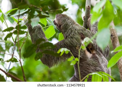 A Three toed sloth hanging from a tree in Manuel Antonio, Costa Rica.