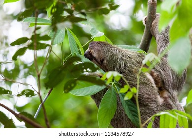 Three toed sloth hanging from a tree in Manuel Antonio, Costa Rica.