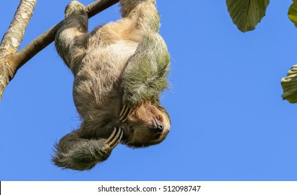 Three Toed Sloth hanging from a tree, Costa Rica