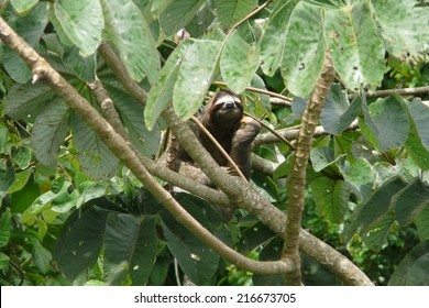 Three toed sloth resting over a branch close to Canopy Tower lodge, Soberania National Park, Panama