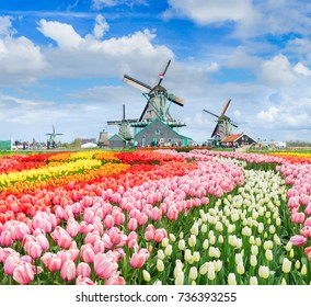 three traditional Dutch windmills of Zaanse Schans and rows of tulips, Netherlands. Holland spring windmills and flowers landscape.