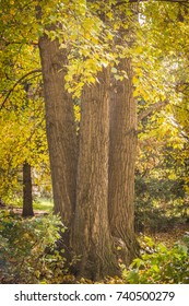 Three Tree Trunks and Foliage in Autumn