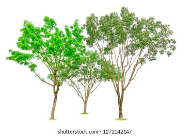 Three trees isolated, group of Broad leaf Mahogany, other name are False mahogany, Honduras, Big leaf, an evergreen leaves plant dicut on white background with clipping path