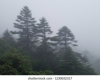Three trees on a mountain in the mist and fog