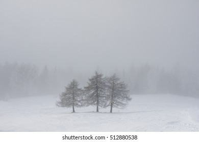 Three trees in snowy environment, in a foggy day