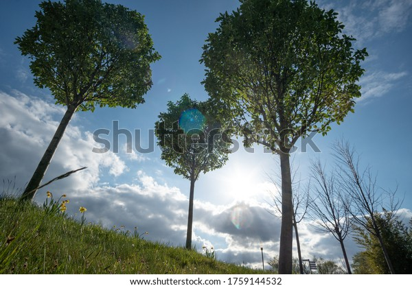 Three trees soar into the sky in fine weather. Excursion to the park