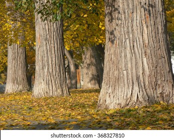 Three trees. Three trunks of tree in a park in fall.